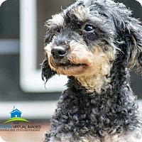 Adopt A Pet :: Onyx - Matthews, NC