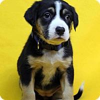Adopt A Pet :: Hope - Westminster, CO
