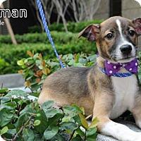 Adopt A Pet :: Herman-Mar - Seattle, WA