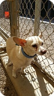 Chihuahua Dog for adoption in Tempe, Arizona - Burtoch