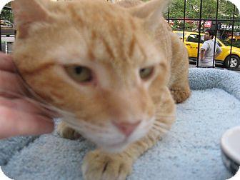 Domestic Shorthair Cat for adoption in New york, New York - MR B  aka Mr. B Larsson