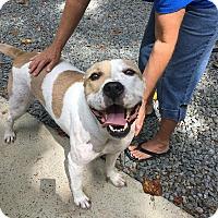 Adopt A Pet :: Smiley - Lexington, NC