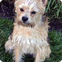 Cairn Terrier/Yorkie, Yorkshire Terrier Mix Puppy for adoption in Bridgeton, Missouri - Toby-ADOPTION PENDING