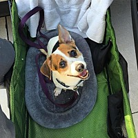 Adopt A Pet :: Wheelie Nelson - in Foster Care - Chino Hills, CA