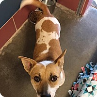 Jack Russell Terrier/Pit Bull Terrier Mix Dog for adoption in Gardnerville, Nevada - Teddy
