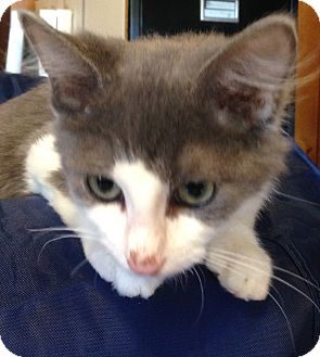 Domestic Longhair Kitten for adoption in Randleman, North Carolina - Flynn
