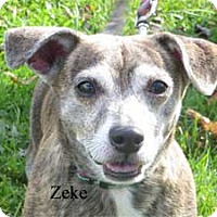 Chihuahua Mix Dog for adoption in Warren, Pennsylvania - Zeke
