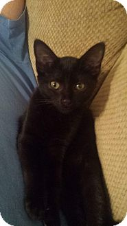 Domestic Shorthair Kitten for adoption in Winterville, North Carolina - SABRINA