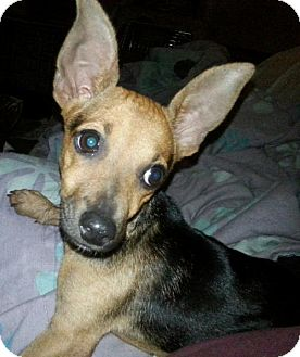 Chihuahua/Dachshund Mix Dog for adoption in Houston, Texas - JoeJoe