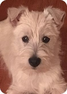 Westie, West Highland White Terrier Puppy for adoption in Omaha, Nebraska - Gaston-Pending Adoption