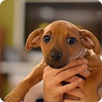 Adopt A Pet :: Riesling - Wine Litter - Acworth, GA