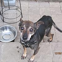 Adopt A Pet :: Susie - 12 1/2 - Wapwallopen, PA