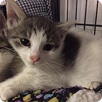Adopt A Pet :: Vixen - Forest Hills, NY