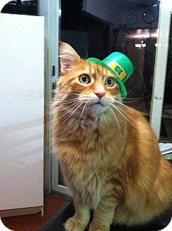 Siberian Cat for adoption in Central Islip, New York - Max
