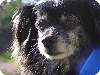Chihuahua/Dachshund Mix Dog for adoption in San Diego, California - Peppy