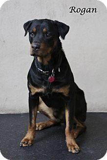 Rottweiler Dog for adoption in Rockwall, Texas - Rogan