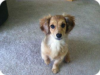 Dachshund/Pomeranian Mix Puppy for adoption in Portland, Oregon - PENELOPE