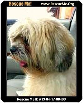 Lhasa Apso/Shih Tzu Mix Dog for adoption in Boulder, Colorado - Harrison