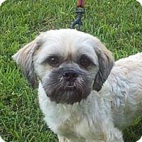 Adopt A Pet :: Chewby - Brattleboro, VT