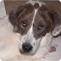 Adopt A Pet :: TRISTAN - Gilbert, AZ
