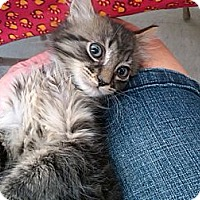 Adopt A Pet :: Meteor - Sterling Hgts, MI