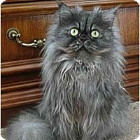 Adopt A Pet :: Mione - Davis, CA