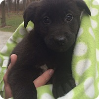Adopt A Pet :: Bow - Salem, MA