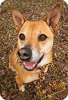 Shepherd (Unknown Type)/Shiba Inu Mix Dog for adoption in Converse, Texas - June Bug
