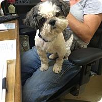 Adopt A Pet :: Apollo - Fair Oaks Ranch, TX