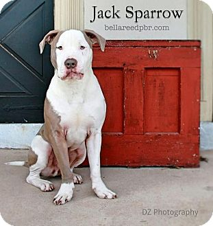 Pit Bull Terrier Mix Dog for adoption in Southampton, Pennsylvania - Jack Sparrow