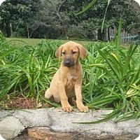 Adopt A Pet :: Autumn Adoption pending - Manchester, CT