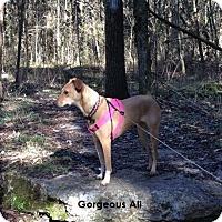 Adopt A Pet :: Ali - Chandler, AZ