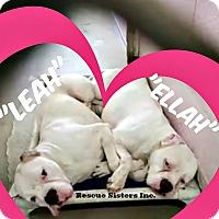 American Bulldog/Boxer Mix Dog for adoption in Boca Raton, Florida - Ellah & Leah