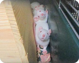 Rat for adoption in Cocoa, Florida - Ringo (Cocoa Center)