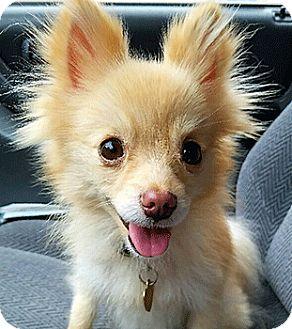 Pomeranian Mix Dog for adoption in Oakland, California - Lorna