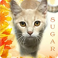 Adopt A Pet :: Sugar - Columbia, TN