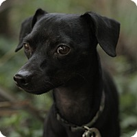 Adopt A Pet :: Blackie - Encino, CA