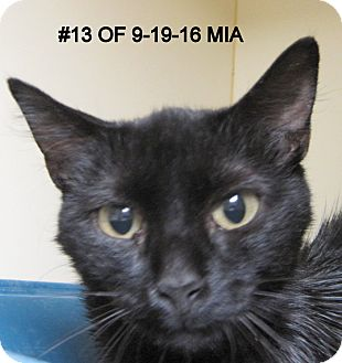 Domestic Shorthair Cat for adoption in Gaylord, Michigan - Mia