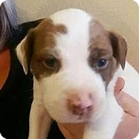Pit Bull Terrier/Staffordshire Bull Terrier Mix Puppy for adoption in Riverside, California - Zack