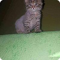 Norwegian Forest Cat Kitten for adoption in Fenton, Missouri - Deja