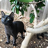 Domestic Shorthair Kitten for adoption in Dublin, California - Vi