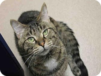 Domestic Mediumhair Cat for adoption in Decatur, Illinois - RASTA