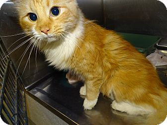Domestic Longhair Cat for adoption in Brooksville, Florida - SHERBERT