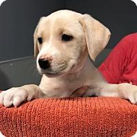 Adopt A Pet :: Addison - Chicago, IL
