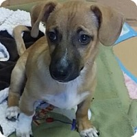 Adopt A Pet :: Bruno--PETSMART SO. VIRGINIA - Reno, NV