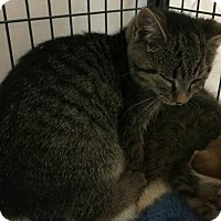 Domestic Shorthair Kitten for adoption in Freeport, New York - Ashley
