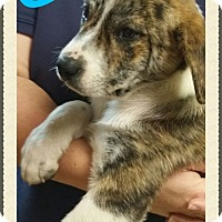Adopt A Pet :: Camo (DC) - Spring Valley, NY