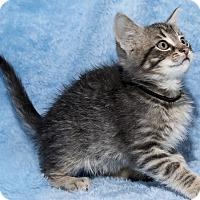 Adopt A Pet :: Shooter - Mt. Prospect, IL