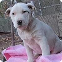 Adopt A Pet :: American Bulldog mixes--arriving soon! - Chichester, NH