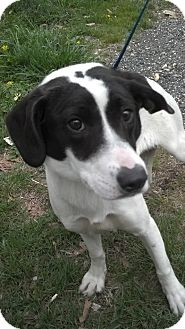 Hound (Unknown Type) Mix Dog for adoption in Waldorf, Maryland - Glenda #388